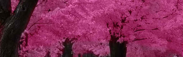 exotic-expanse-of-cherry-blossoms-in-Japan